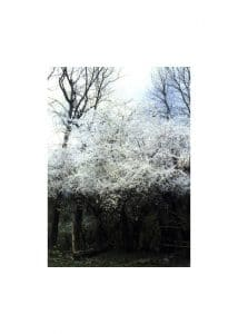 6.Cherry Plum (Джанка)