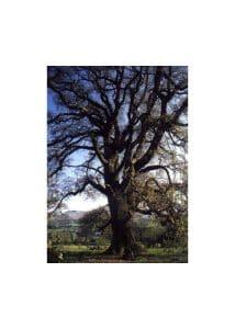 22.Oak (Дъб)