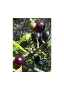 23.Olive (Маслина)