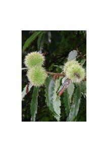 30.Swet Chestnut (Сладък кестен)