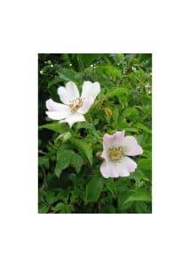 37.Wild Rose (Шипка)
